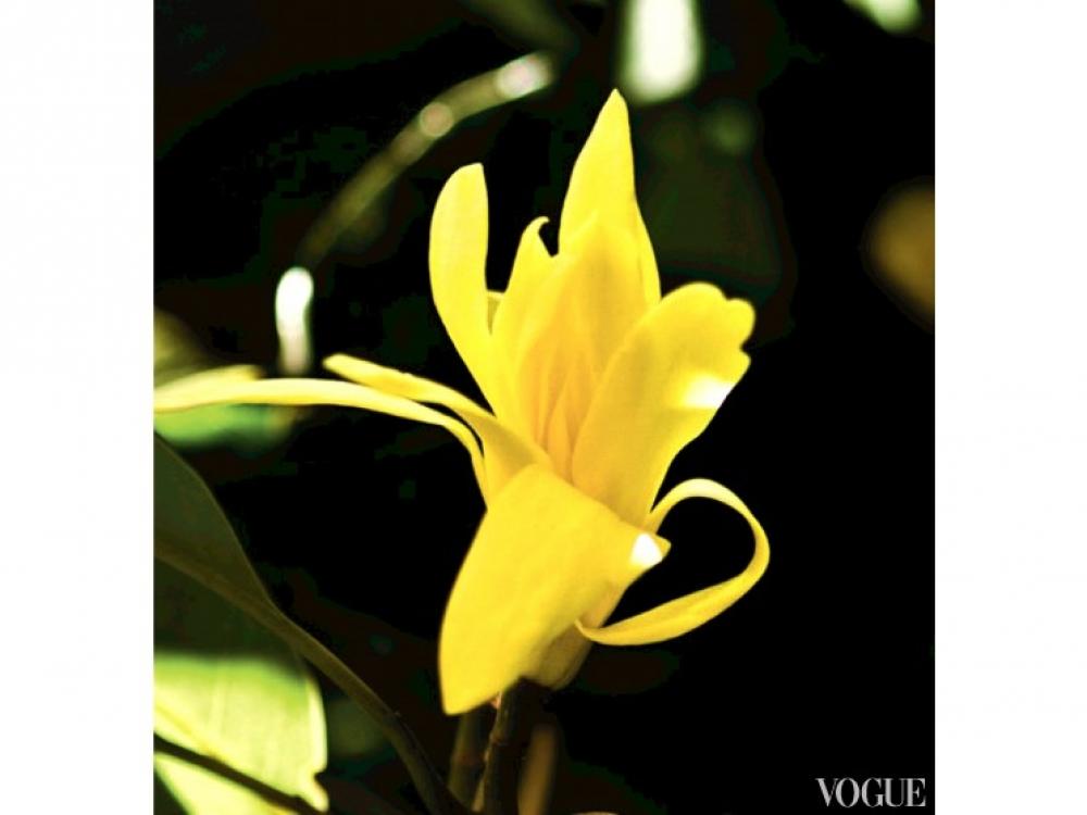 Цветок золотой магнолии чампака