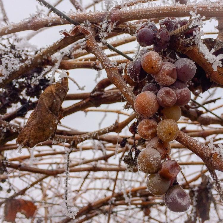 Подмерзший виноград @23zordy23
